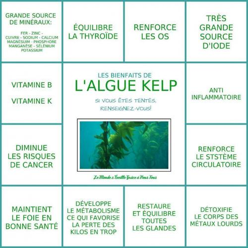 Algue kelp