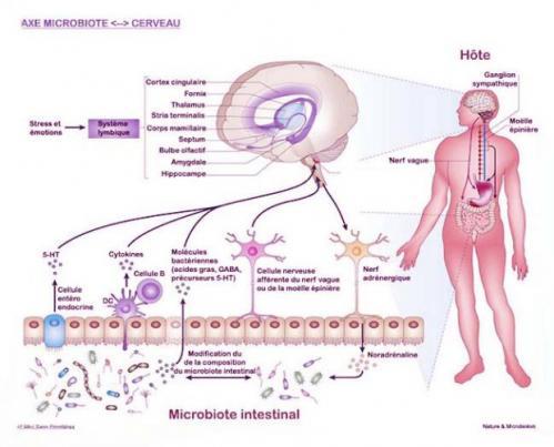 Axe microbiote cerveau 1