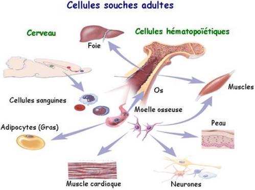 Cellule souche 1