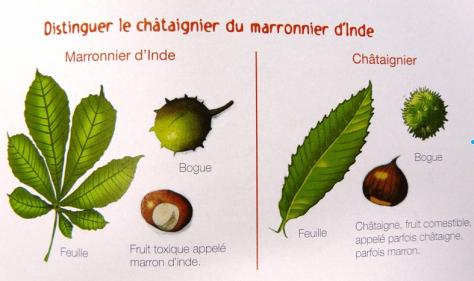 Chataigne ou marron