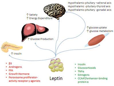 Leptin 1